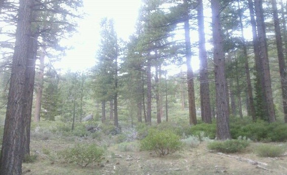 Southwest Pine Trees